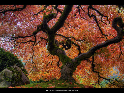 Autumn Colors at Portland Japanese Garden 2 | by David Gn Photography