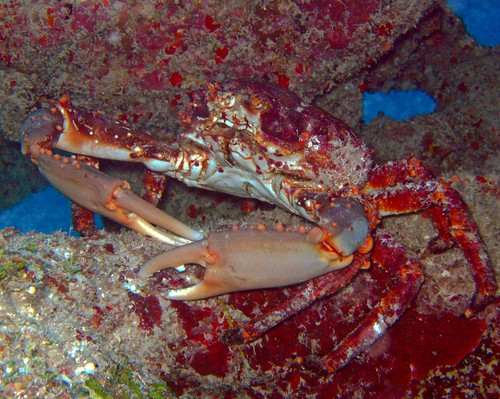 Channel Clinging Crab | by ThePixelSmith