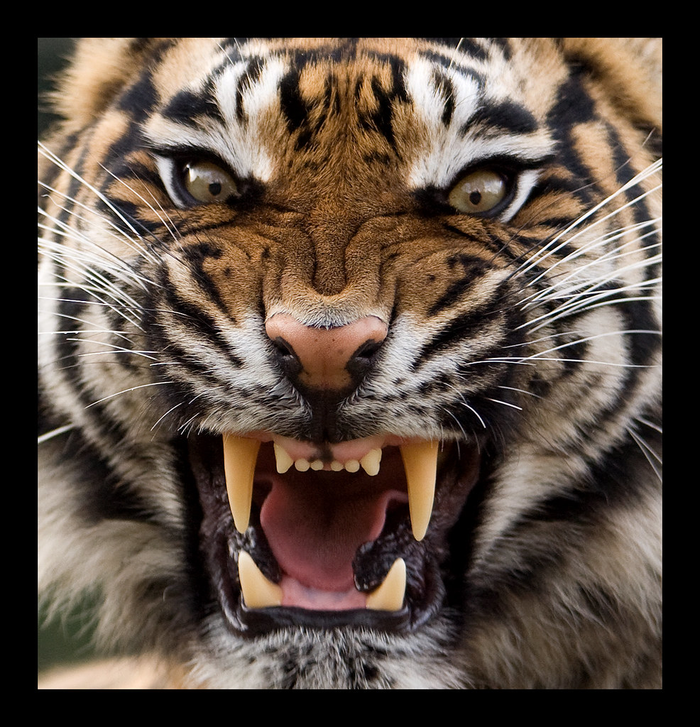 angry white tiger blue eyes - photo #7