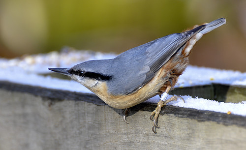 Nuthatch | by Photo Crazy Rob