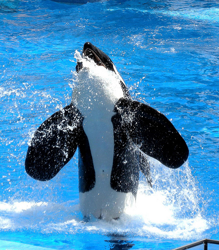 killer whale milan.boers | by Contra Costa Times