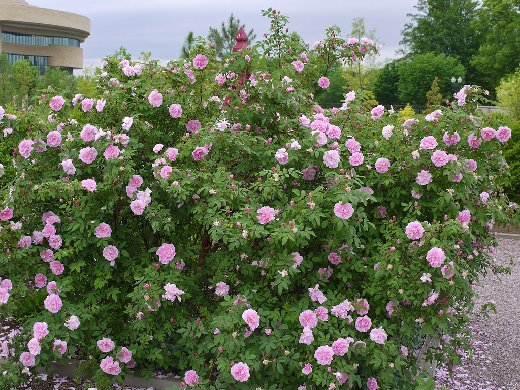 Rosa Therese Bugnet A Large Growing Very Cold Hardy