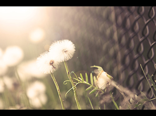 another dandelion picture | by sara |sugarlens|