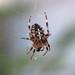 Neighborhood Spider