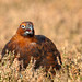 Red Grouse - Male - Calling - 6
