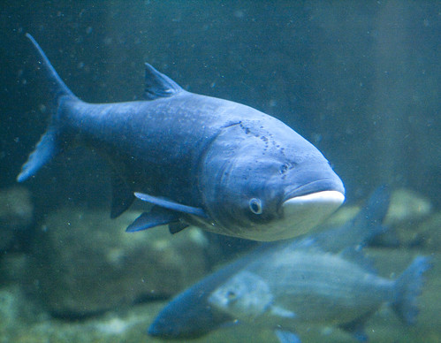 Asian Carp - Chicago's Shedd Aquarium | by kate.gardiner