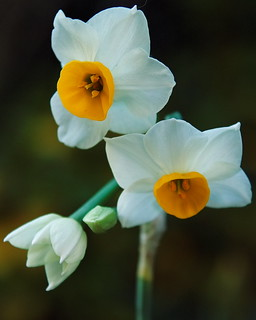 narcissuses | by ×0