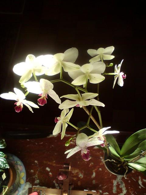 Orchid e d 39 int rieur flickr photo sharing - Arrosage orchidee d interieur ...