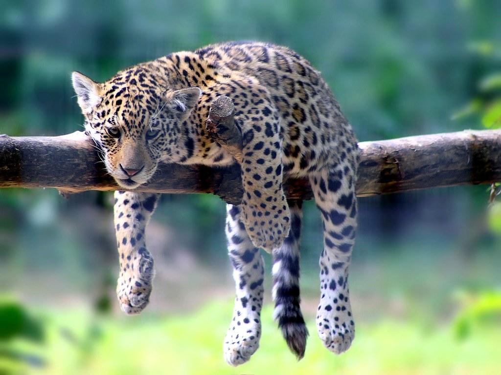 B b jaguar sur sa branche vous pouvez le faire vous flickr - Bebe du jaguar ...