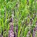 Rice, Mekong Delta