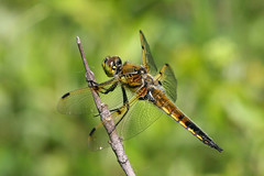 Four Spotted Skimmer (Libellula quadrimaculata)
