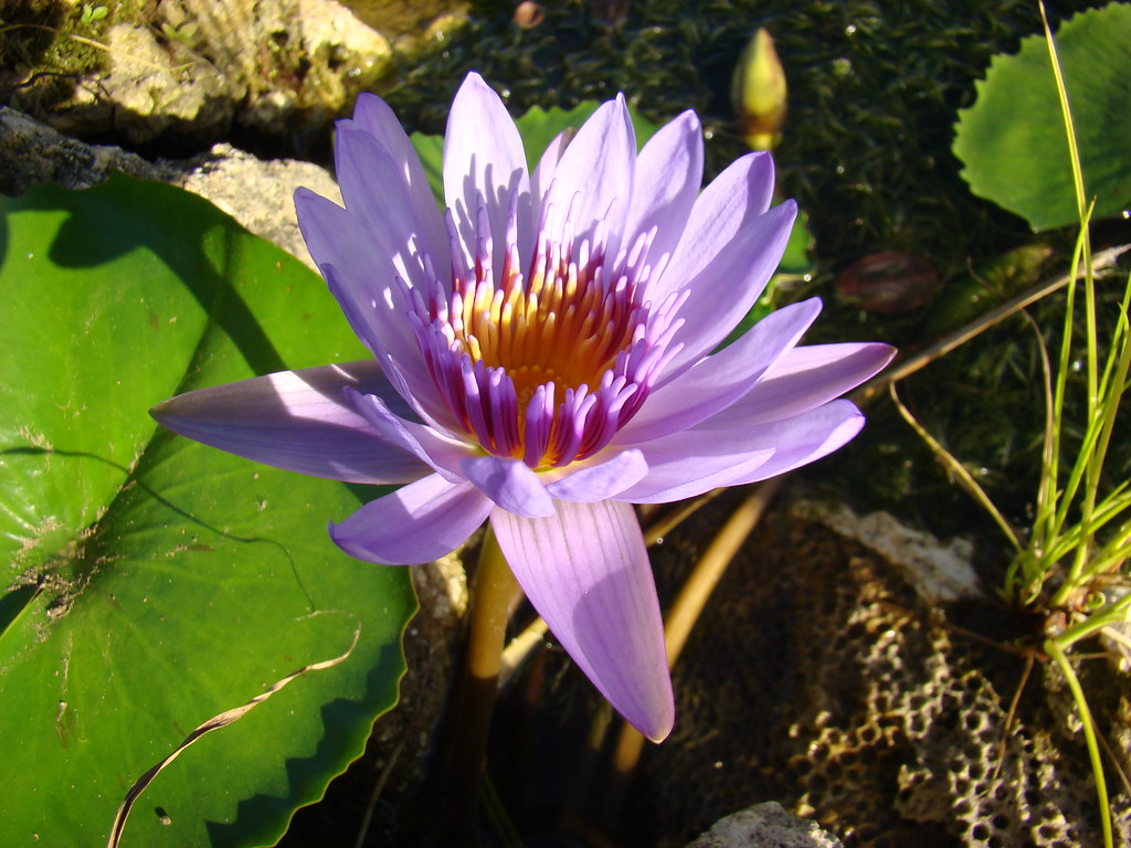 Buddhism Lotus Flower Blossom In Buddhism The Lotus Flo Flickr