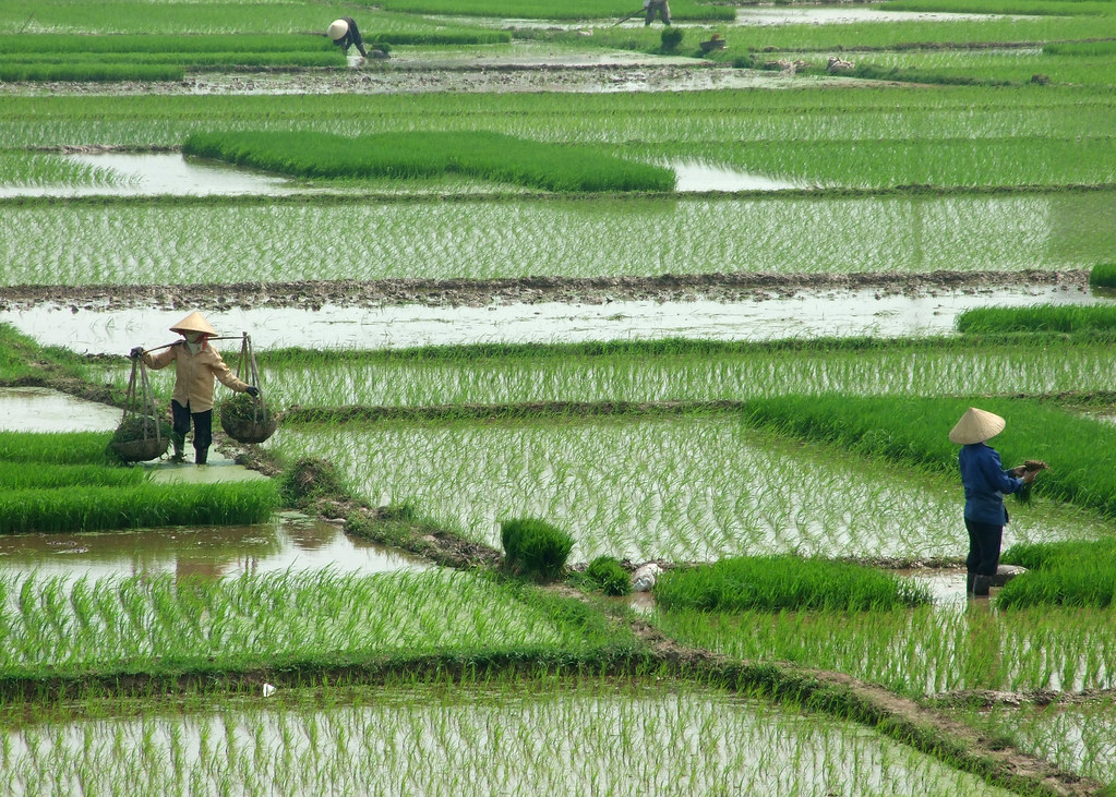 Rice Paddies So Labour Intensive And So Photogenic
