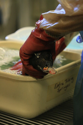 surf scoter wash cheryl | by Contra Costa Times