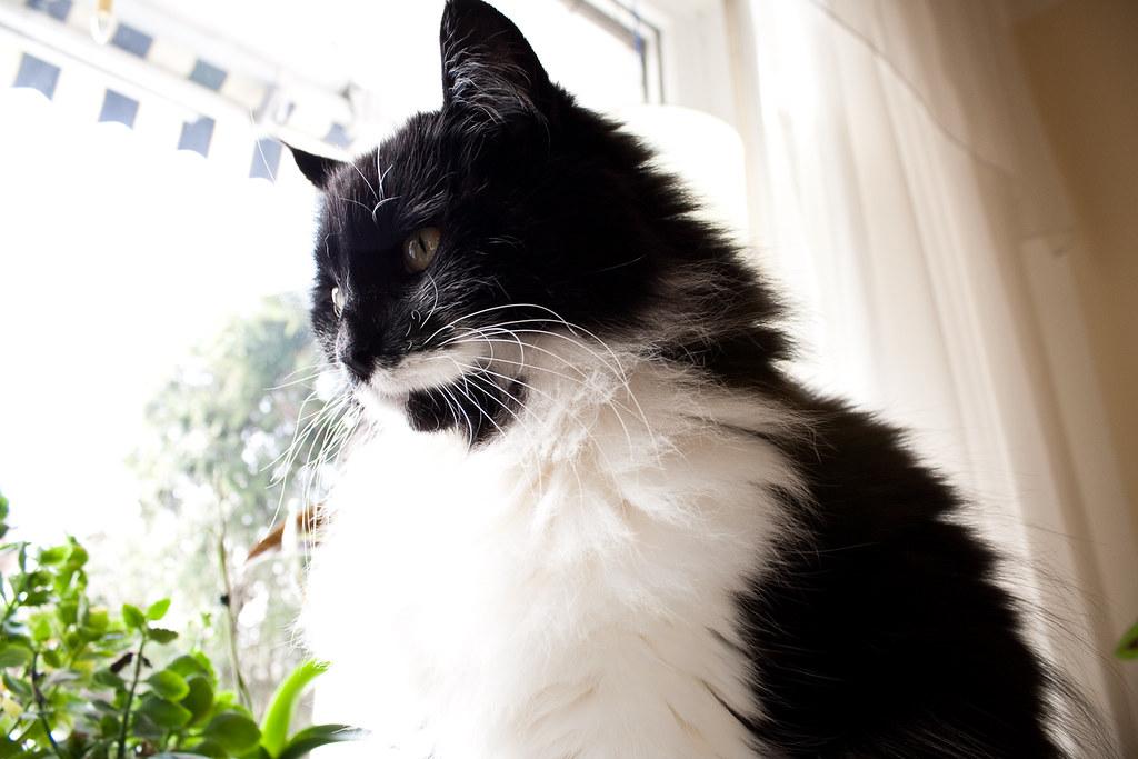 Norwegian Forest Cat Kittens For Sale Texas