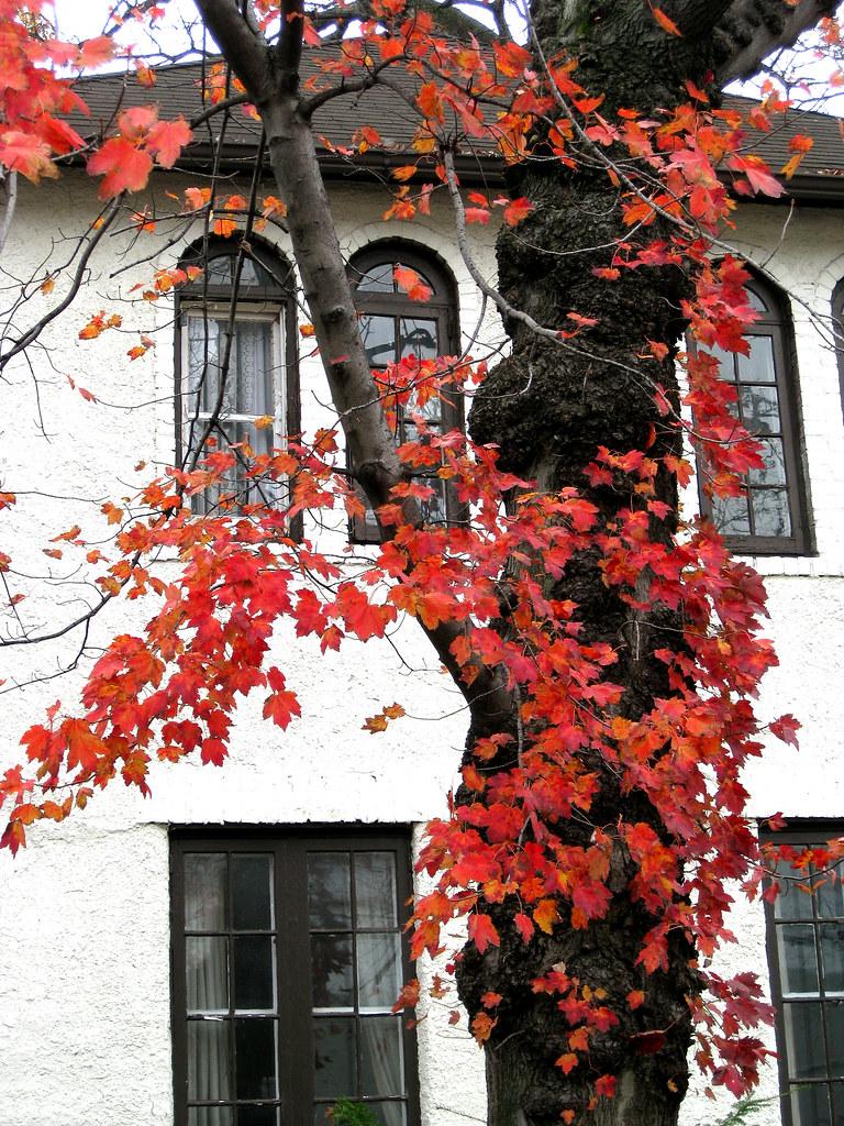 Acer Rubrum Red Maple Fall Leaves Virens Latin For Greening