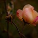 The pink dewy rose