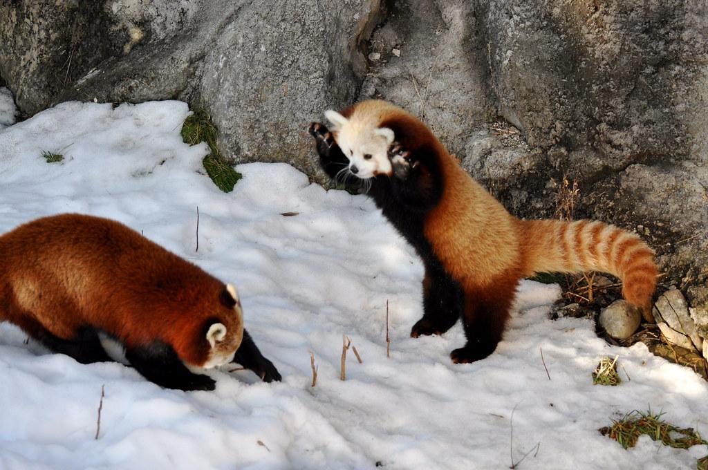 Red Panda Fight! | At the Rosamond Gifford Zoo, Syracuse, NY… | Flickr
