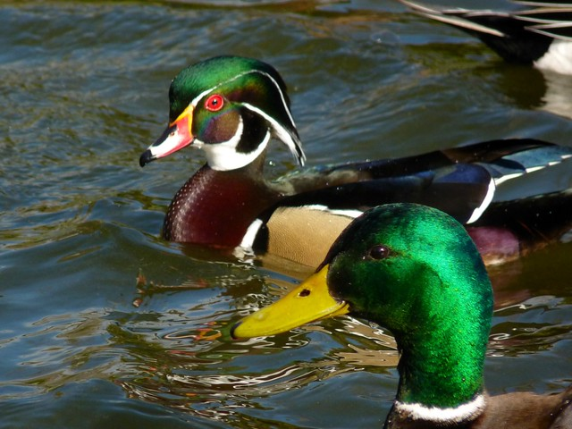 Wood Duck Amp Mallard Colors Of Nature Green Heads Flickr