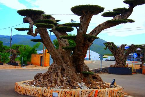 Macro bonsai tarragon san carles de la rapita olivo for Bonsai de jardin