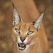 Caracal Impersonates Cheshire Cat