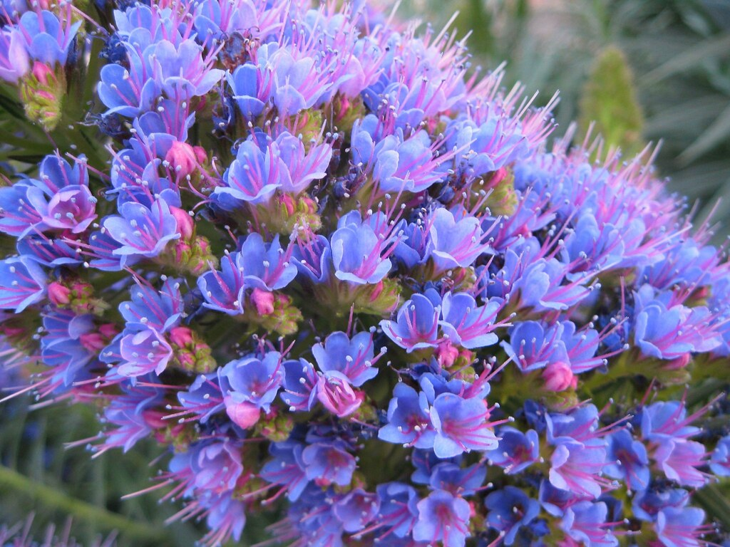 Periwinkle Flower periwinkle flowers | K...