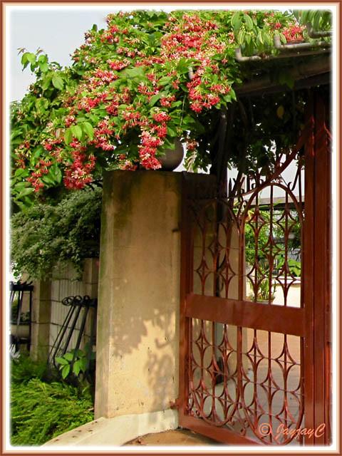 quisqualis indica rangoon creeper vine in the neighbourh flickr