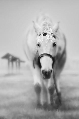 White Horse IPhone Wallpaper