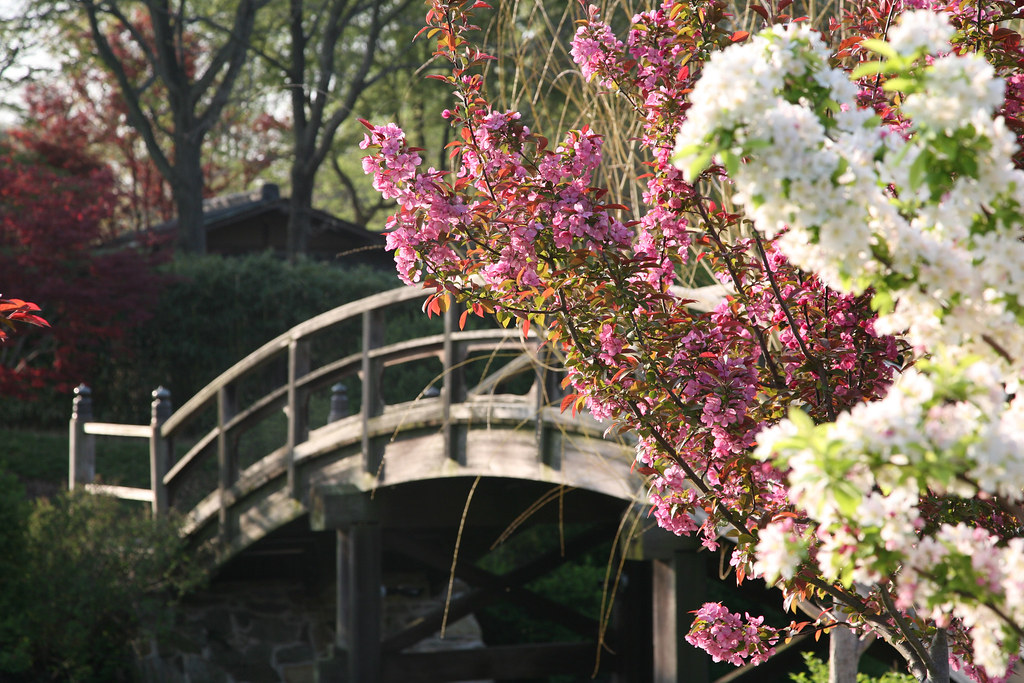 yoshino cherry in front of the drum bridge by missouri botanical garden - Japanese Garden Cherry Blossom Bridge