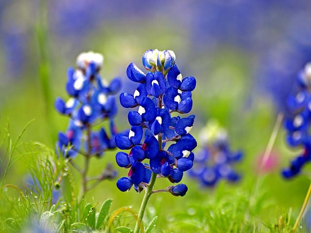 Texas Bluebonnet Texas Bluebonnet Donald Harper Flickr