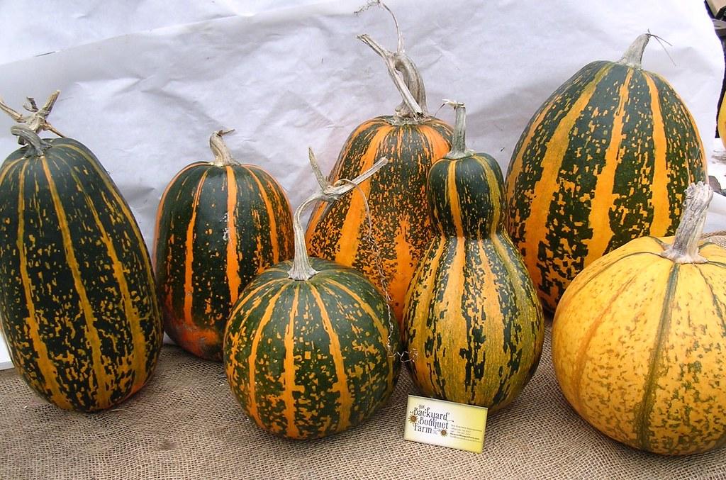 bobs designer pumpkin seeds more unusual colors and