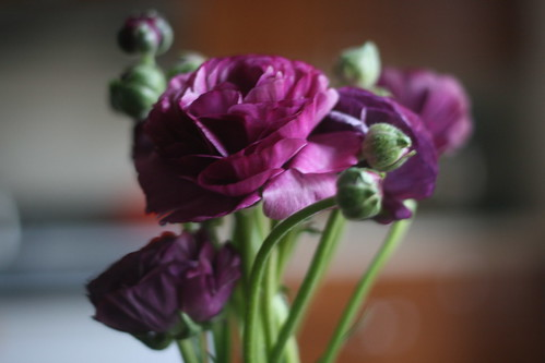 purple ranunculus | by guessica
