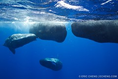 Four blobby sperm whales | by echeng