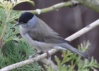 Blackcap | by Diana Mower