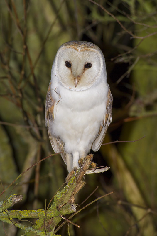 Barn Owl, Old Warden, 18th February 2017