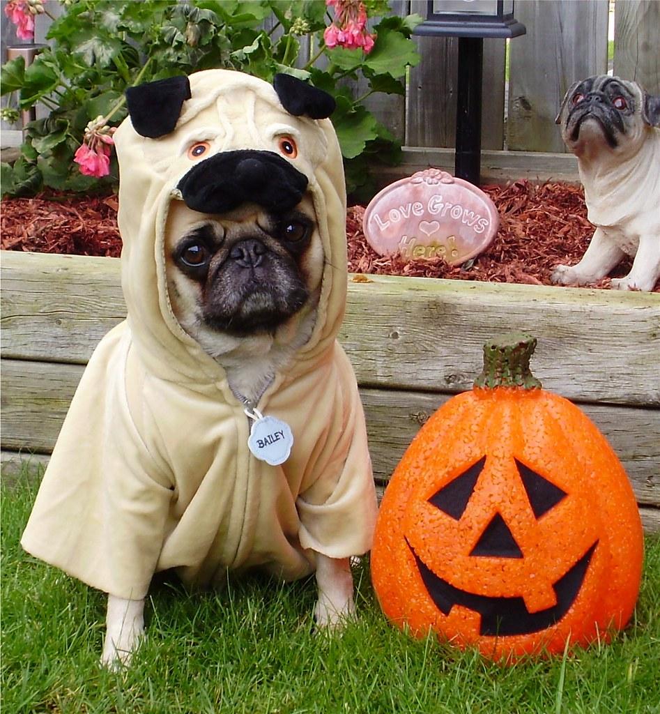 pug halloween costume bailey puggins happy halloween flickr - Pugs Halloween Costumes