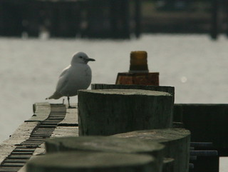 Ivory Gull on piling 20091208 | by Kenneth Cole Schneider