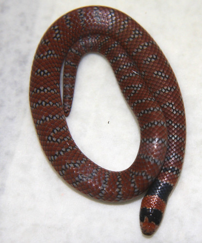 A Young Coral Snake In Care. These Snakes
