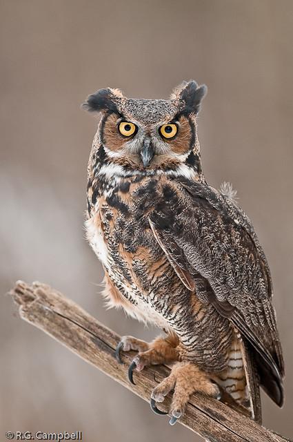 Great Horned Owl_RGC6919