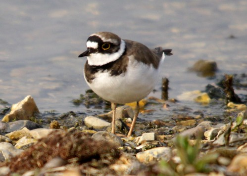 Little Ringed Plover. | by digi-will