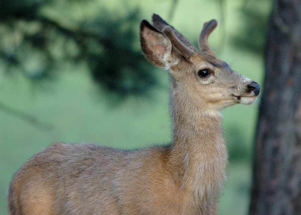 18 mule deer eden bench yuskavitch oregon for Oregon fish and wildlife jobs