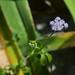 Ageratum sp. (Asteraceae)