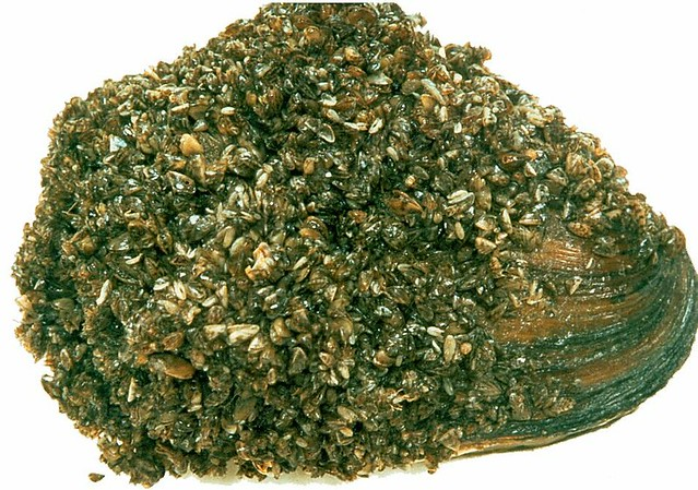 zebra mussels research papers Zebra mussels grow a tuft of fibers known as a byssus, or byssal threads, from a gland in the foot the thread protrudes through the two shells and this is what the mussel uses to attach themselves to hard surfaces.