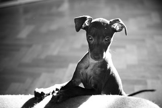 Sulan the Italian Greyhound | by veganmage
