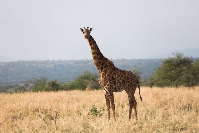 A Tanzanian Giraffe