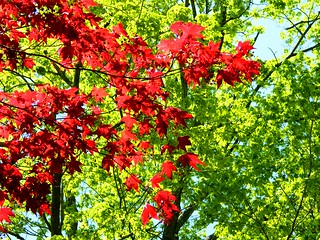 Spring Maple Leaves | by Stanley Zimny (Thank You for 27 Million views)