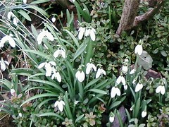 snowdrops | by pianomom2001