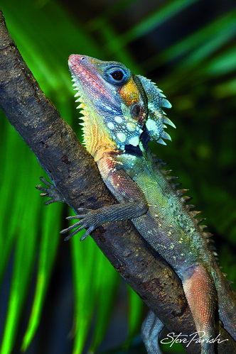 R Chameleon Amazon Boyd's Forest Dragon |...