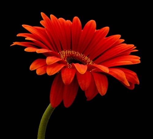 Glowing Gerbera | by Vanda's Pictures