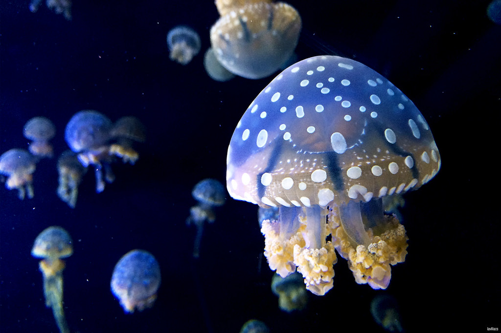 lavlilacs Sentosa Singapore S.E.A. Aquarium jellyfish